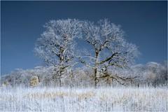 Two Oaks (chuck.hunnicutt) Tags: nelsonlake dickyoungforestpreserve bataviaillinois oaktrees infrared