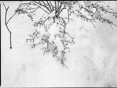 dormant bush, bare sapling, snow, Asheville, NC, Mamiya 645 Pro, mamiya sekor 45mm f-2.8, Arista.Edu 200, Ilford Ilfosol 3 developer, 12.9.18.tiff (steve aimone) Tags: bush dormant sapling snow yard asheville northcarolina mamiya645pro mamiyasekkor45mmf28 mamiyaprime primelens aristaedu200 ilfordilfosol3developer 120 120film film mediumformat monochrome monochromatic blackandwhite landscape winter