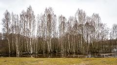 DSC_6706 (stefanh.varberg) Tags: 16mars oklången björk björkar landsbygd landskap sjö skogen spegling träd vatten översvämmning