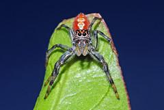 Salticidae (Alvaro_L) Tags: salticidae ojosgrandes colores arachnid spider araña arañasaltadora jumpingspider