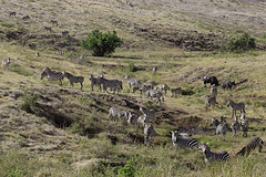 Zebra Party (surfneng) Tags: africa africanbuffalo ngorongorocrater safari tanzania zebra