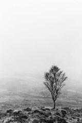 Just a Tree (amcgdesigns) Tags: andrewmcgavin tree misty monochrome blackandwhite stark moor canon100400mm lochaber fortwilliam landscape scotland scottish scottishweather scottishlandscape eos7dmk2