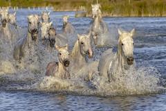 Traversée de l'étang - 5 (Xtian du Gard) Tags: xtiandugard camargue prrovence france chevaux eau water manade etang cavalcade