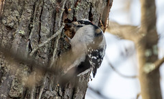 7K8A6770 (rpealit) Tags: scenery wildlife nature wallkill river national refuge downy woodpecker bird