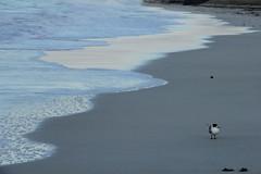 WA - Guilderton - Lone Seagull (aussirose) Tags: aussirose canon60d guilderton beach loneseagull bluehour aussiroseaustralia