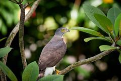 Crested goshawk (Accipiter trivirgatus) (shan.yew) Tags: hawk eagle birdofprey