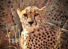 That Killer Look (The Spirit of the World ( On and Off)) Tags: cheetah ambereyes eyes endangered bigcats wildlife nature safari gamedrive namibia southernafrica africa spots africatfoundation sanctuary conservation protected portrait wildlifeportrait conservatory