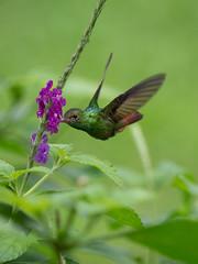 Hummingbird (wwarby) Tags: centralamerica costarica abroad animal bird holiday holiday2018costarica hummingbird outdoors plant vacation wild wildlife
