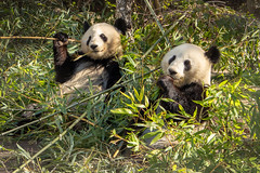 Pandas+bamboo = happy (Marion McM) Tags: green pandas animals bamboo zoo vienna europe cute happy contentment nature canoneosm6 thumbs opposable opposablethumbs