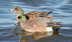 American Widgeon pair (tresed47) Tags: 2019 201901jan 20190114marylandbirdsbb birds cambridge canon7dmkii content ducks folder january maryland peterscamera petersphotos places season takenby us widgeon winter