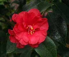 Camellia Japonica (Wolfgang Bazer) Tags: camellia japonica kamelie palmenhaus schlosspark schönbrunn blume flower blossom wien vienna österreich austria