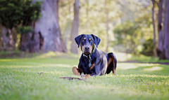 Chillin on the lush green grass... (Riley-Dobe) Tags: doberman riley d500 grass green black 50mm outdoors