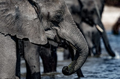 Elephant (Thomas Retterath) Tags: thomasretterath 2018 nopeople safari natur nature africa afrika botswana wildlife river fluss chobe stoszähne loxodontaafricana bigfive africanelephant elefant elephantidae pflanzenfresser herbivore säugetier mammals animals tiere tusks