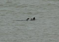 IMG_4980 (monika.carrie) Tags: monikacarrie seals wildlife scotland aberdeen