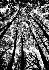 _DSC0995 -Cimes - (Le To) Tags: nikond5000 noiretblanc nerosubianco bw monochrome arbres nature cimes