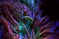 Sea Anemone (Vinny Gragg) Tags: animal animals fish fishtank fishtanks aquarium brookfieldzoo zoo brookfieldillinois brookfield illinois zoos sea anemone seaanemone seaanemones anemones colorful saltwater