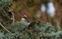 autumn colors (2/2) : a jay in a tree (Franck Zumella) Tags: jay geai bird oiseau blue bleu tree arbre nature wildlife animal forest foret autumun fall automne branch branche color couleur