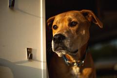 Stafford (3rd-Rate Photography) Tags: dog pet animal canon 50mm 5dmarkiii jacksonville florida 3rdratephotography earlware 365