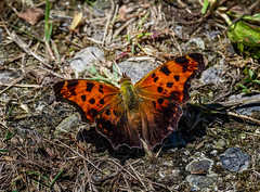 Heart Warming (Portraying Life, LLC) Tags: milan michigan unitedstates butterfly pentax ricoh k1 da3004 hd14tc summer dryas closecrop handheld nativelighting