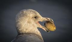 Gull (Paul Rioux) Tags: nature avian shore bird sea gull eat clam shell eye outdoor creature prioux