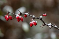 A little bit snow 1320 (Peter Goll thx for +10.000.000 views) Tags: garden schnee nikon nature garten macro 105mm nikkor makro natur snow d850 rot red