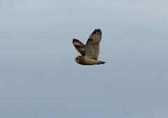 IMG_9889 (monika.carrie) Tags: monikacarrie wildlife seo shortearedowl forvie scotland owl
