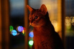 Happy New Year Everyone! (DizzieMizzieLizzie) Tags: abyssinian aby lizzie dizziemizzielizzie portrait cat feline gato gatto katt katze kot meow pisica sony neko gatos chat fe ilce 2018 ilce7m3 a7iii pose classic pet golden bokeh dof animal zeiss planar t f14 50mm za happy new year iso12800 dark night