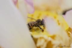 Fiori (ilMax72.com) Tags: ilmax72 fiori girasoli girasole sunflower giallo yellow allaperto fiore ape polline impollinazione insetto macro