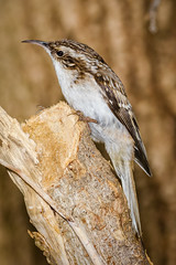 Brown Creeper. (tresed47) Tags: 2018 201811nov 20181105chestercountybirds birds browncreeper canon7d chestercounty content fall folder november pennsylvania peterscamera petersphotos places season takenby us