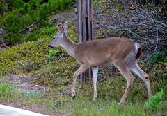 DSC_0756 (afagen) Tags: california pacificgrove montereypeninsula asilomar beach pacificocean ocean asilomarstatemarinereserve animal deer