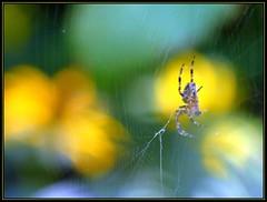 IMG_9856 Overnight Construction 8-18-16 (arkansas traveler) Tags: spider arachnid flowers zoom telephoto bokeh bokehlicious nature naturewatcher natureartphotography