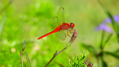 Scarlet Skimmer Dragonfly (Jim Mullhaupt) Tags: dragonfly insect bug red scarlet male water pond lake swamp wildlife nature landscape background wallpaper outdoor bradenton florida manateecounty nikon coolpix p900 jimmullhaupt photo flickr geographic picture pictures camera snapshot photography nikoncoolpixp900 nikonp900 coolpixp900 scarletskimmer