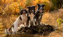 Friends (Flemming Andersen) Tags: autumn spaniel hund pet nature zigzag dog bordercollie outdoor yatzy cocker frisbee animal
