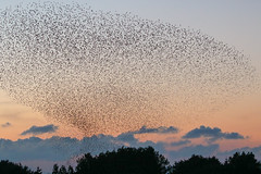 Starling Murmuration - good light this time !! (Dougie Edmond) Tags: bird birds murmuration nature wildlife spectacle prestwick scotland unitedkingdom gb