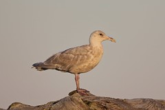 Gull, Ediz Hook, Port Angeles, Washington State, USA 11/18/18 (LJHankandKaren) Tags: edizhook gull