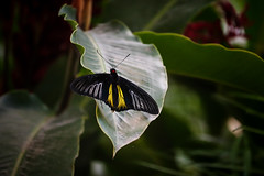 Troides helena cerberus (Mikas Alcantara) Tags: birdwing butterfly insect photography