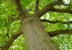 Let Trees Be (Leigha Louisee) Tags: nature tree trees trunk big large green branch brown branches