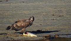 Fish for Lunch Too (robinlamb1) Tags: nature outdoor animal bird eagle baldeagle immature fish dead salmon sand shore