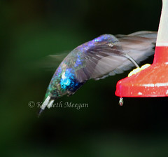 Humming Bird (Ken Meegan) Tags: hummingbird monteverdecloudforest costarica 12102008 bird