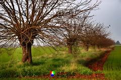 Rare file di gelsi (Gianni Armano) Tags: file di gelsi rare san giuliano nuovo alessandria piemonte italia foto gianni armano photo flickr