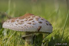 Reparando el tejado?? (Javier Arcilla) Tags: setas insectos naturaleza hongos lepiotas hierba verde sol pentax k70