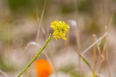 Not Afraid (davidseibold) Tags: america benaroad california canonrebelxsi coloryellow flower jfflickr kerncounty nature photosbydavid postedonflickr postedonmewe unitedstates usa wildflower caliente