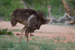 Female Ostrich (leendert3) Tags: leonmolenaar southafrica krugernationalpark wildlife nature birds ostrich ngc npc