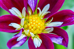 Dahlia Blossom (thatSandygirl) Tags: dahlia blossom bloom flower floral garden outdoors nature purple white yellow bright closeup macro flowergarden fancy detail