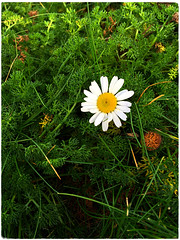 Sea Mayweed (Julie (thanks for 8 million views)) Tags: tripleurospermummaritimum seamayweed wildflower ireland irish green flora hggt iphonese wexford hookpeninsula 100flowers2018
