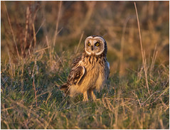 Short-eared Owl (Antony Ward) Tags: shortearedowl owls wildowls teesside