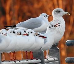 moin moin (BrigitteE1) Tags: 02012019 moinmoin lachmöwe silbermöwe newyear vogel vögel bird birds möwe möwen gull gulls blackheadedgull larusridibundus herringgull larusargentatus bremen deutschland germany weserwehr specanimal
