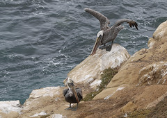 Hey Baby (raffaele pagani) Tags: lajolla lajollacove sandiego california spiaggia beach leonimarini sealions foche seals pelecanusoccidentalis pellicanobrunodellacalifornia uccellodimare californiabrownpelican seabird canon