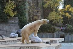 Ice Bear (Las Cuentas) Tags: eisbär icebear zoo wuppertal tierpark bär tier canon eos 4000d