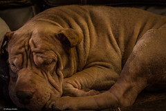 Mudge in repose (scubadreamtime) Tags: dog mudge napping wrinkles sharpei pitbull